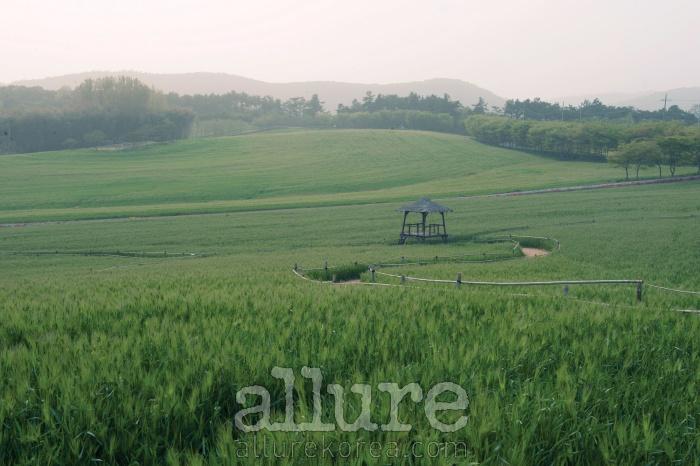 전북 고창의 청보리밭에 부드러운 안개가 내려앉았다. 눈에 닿는 모든 곳이 초록이다.