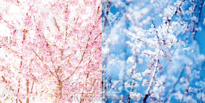 2011년 4월의 벚꽃, 안웅철