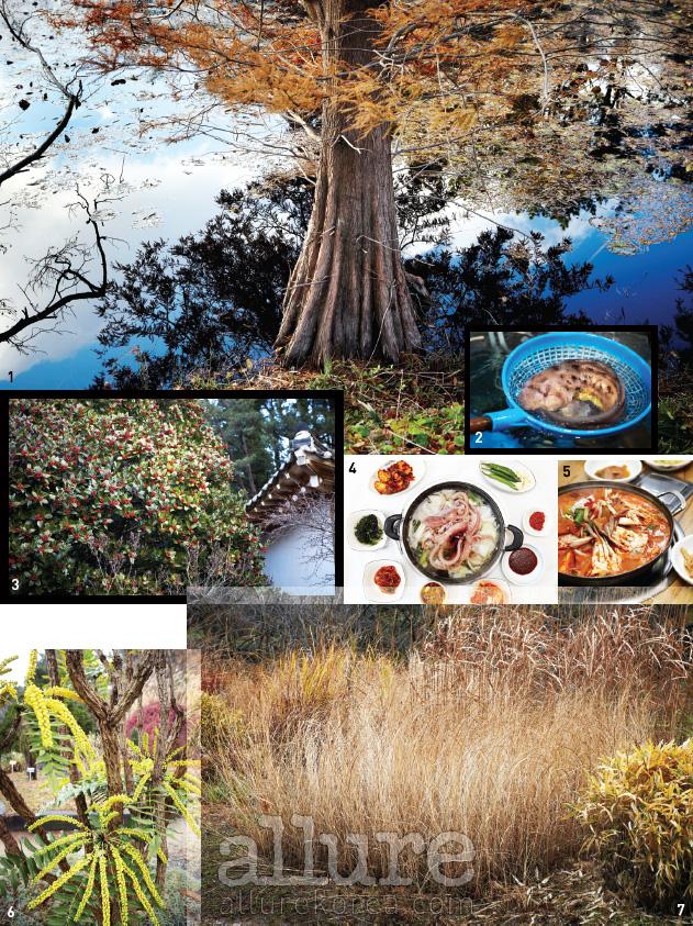 1. 수목원의 자랑 낙우송이 연못에 비친다. 2. 시장에서만난 물텀벵이. 3. 겨울에 붉은 열매를 맺는 호랑가시나무는천리포수목원의 주인공이다. 4. 박에서 우러난 국물이 시원한박속낙지탕. 5. 태안의 향토음식, 게국지. 6. 호랑가시나무와 함께천리포수목원의 겨울을대표하는 것이 노란색뿔남천이다. 7. 우리나라최대의 해안사구가 있는태안반도에서는 해안습지등 특이한 풍경을 마주할수 있다. 해변길에서 만난습지의 식물들.