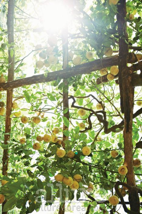 레몬 나무가 선사하는 상큼한 여름 풍경.
