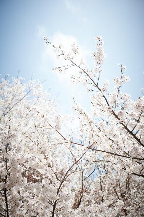 빼놓을 수 없는 벚꽃 명소, 남산에 핀 벚꽃