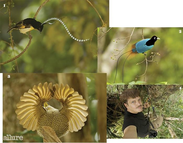 1 우리말로는 기드림풍조라고 불리는 수컷 색스니왕의 극락조(King of Saxony Bird of Paradise)가 머리의 커다란 깃털을 흔들고 있다. 2 파랑극락조(Blue Bird of Paradise)가 먹이를 노리고 있다. 3 구애 중인 파라다이스 라이플버드(Paradise Riflebird). 4 촬영을 위해 로프에 매달린 사진가 팀 라만.