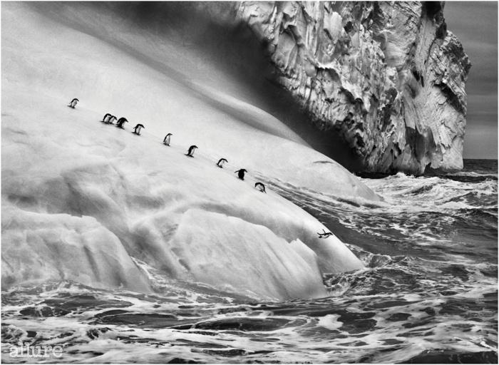 자보도브스키와 비소코이 섬 사이에 있는 빙하 위 턱끈 펭귄. 사우스 샌드위치 제도. 2009