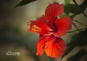 hibiscus-2818765_1920