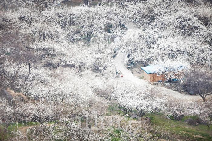 광양 매화마을에 봄이 도착했다. 햇살의 온도가 달라지는 순간, 섬진강은 매화꽃으로 온통 하얗게 뒤덮인다.