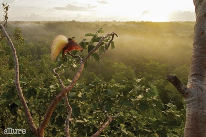 동이 틀 무렵, 큰극락조가 커다란 날개를 펼치며 하늘을 향해 날아오르려 하고 있다. 수컷 큰극락조의 몸길이는 43cm 정도다.