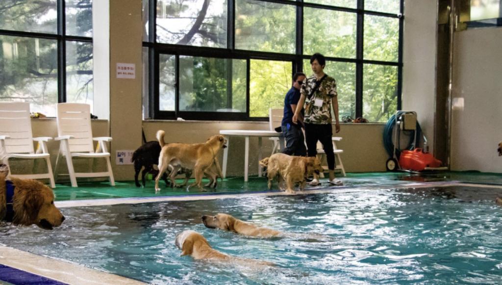 실내 강아지 수영장 (사진출처: 골드펫리조트 홈페이지)